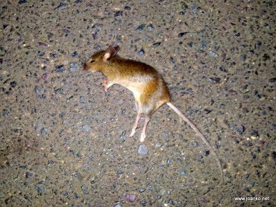 Mouse on the road in Southbank, Melbourne