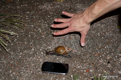 Very large snail in Tainan
